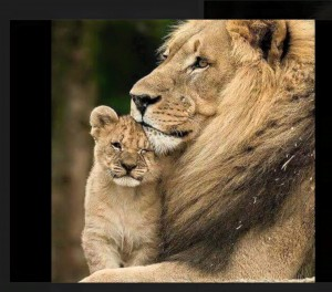 Cecil the lion and one of his babies, justice for Cecil the Lion